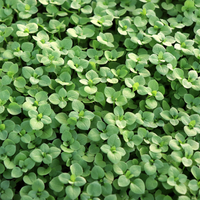 group of chickweed