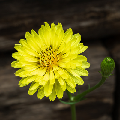 close up of texas dandelion